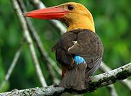 可愛的動物荊棘鳥圖片