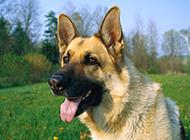 高大威猛的狗尖嘴德國牧羊犬圖片