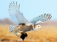 兇猛動物雪鸮捕食圖片