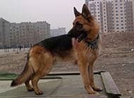 红狮雄壮牧羊犬图片