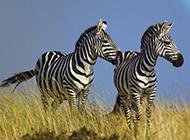 自由奔跑的非洲斑馬圖片