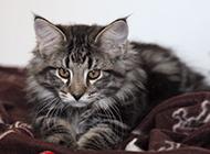黑色挪威森林猫高清图片壁纸