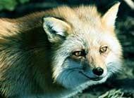 狡猾奸诈的狐狸高清组图