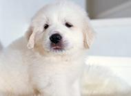 可愛的大白熊犬幼犬圖片壁紙