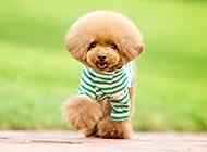 纯种小泰迪犬穿衣服图片