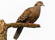 鸟类布谷鸟图片欣赏