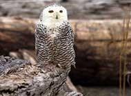 羽色非常美麗的雪鸮高清圖片