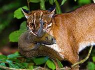 亚洲金猫野外捕食图片