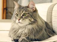 缅因猫神态优雅温驯图片