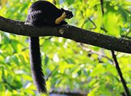 黑巖巨松鼠叢林嬉戲圖片