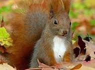 森林里活蹦乱跳的松鼠图片