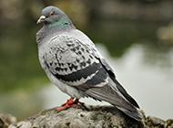 銀灰色信鴿高清攝影圖片