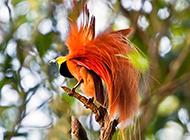 最漂亮天堂鳥圖華美無比