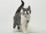 乖巧逗人的蓝白英短猫图片