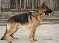 纯种高大威猛黑背犬图片