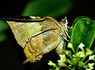 枯叶蝴蝶图片微距精美特写