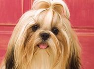 華美高貴的西施犬高清桌面壁紙