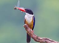 荊棘鳥覓食的圖片壁紙