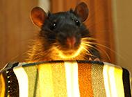 贪玩可爱的花枝鼠图片