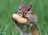 可爱的花栗鼠动物超清萌图