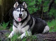 巨型阿拉斯加犬户外精美写真