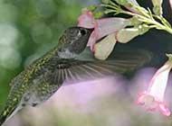 描写可爱的蜂鸟