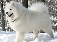 可愛漂亮的純種薩摩耶犬圖片