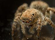 跳蛛科蝇虎蜘蛛图片高清欣赏