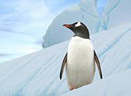 超可爱的南极小企鹅图片