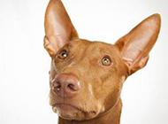 法老王猎犬头部特写图片