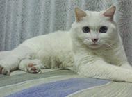白色中華田園貓圖片欣賞