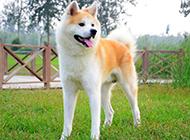 最漂亮的狗狗日本秋田犬圖片