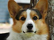 家養寵物狗彭布魯克柯基犬圖片