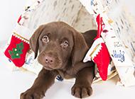 可愛拉布拉多犬圣誕主題攝影圖片