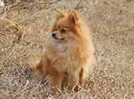 棕色狐貍犬自信優雅圖片