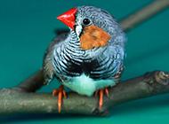 金山珍珠鸟小巧机灵图片