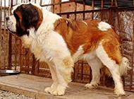高大威猛的成年圣伯纳犬图片