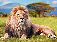 霸气的非洲雄狮图片赏析