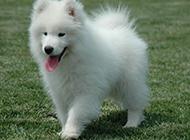 美版薩摩耶犬幼犬調皮吐舌圖片