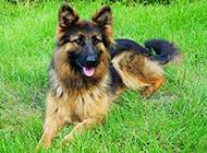 草地悠然歇息的德國狼犬圖片