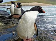 可爱南极小企鹅图片特写