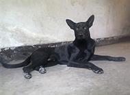 东北黑狼犬眼神犀利图片