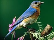 可愛北美藍知更鳥圖片