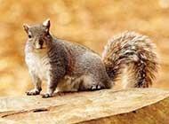 秋日里可爱小松鼠忙唯美高清壁纸