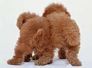 可愛泰迪熊犬居家賣萌高清唯美圖片
