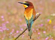 长尾蜂鸟唯美壁纸图片