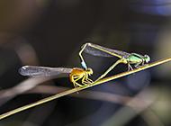 放飞蜻蜓交配图片