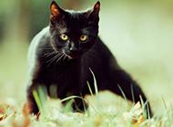 靈活機智的孟買貓圖片