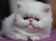 长相丑萌丑萌的喜马拉雅种猫图片