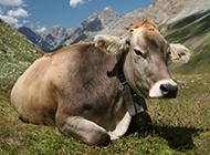 高清动物壁纸图片草地奶牛可爱呆萌